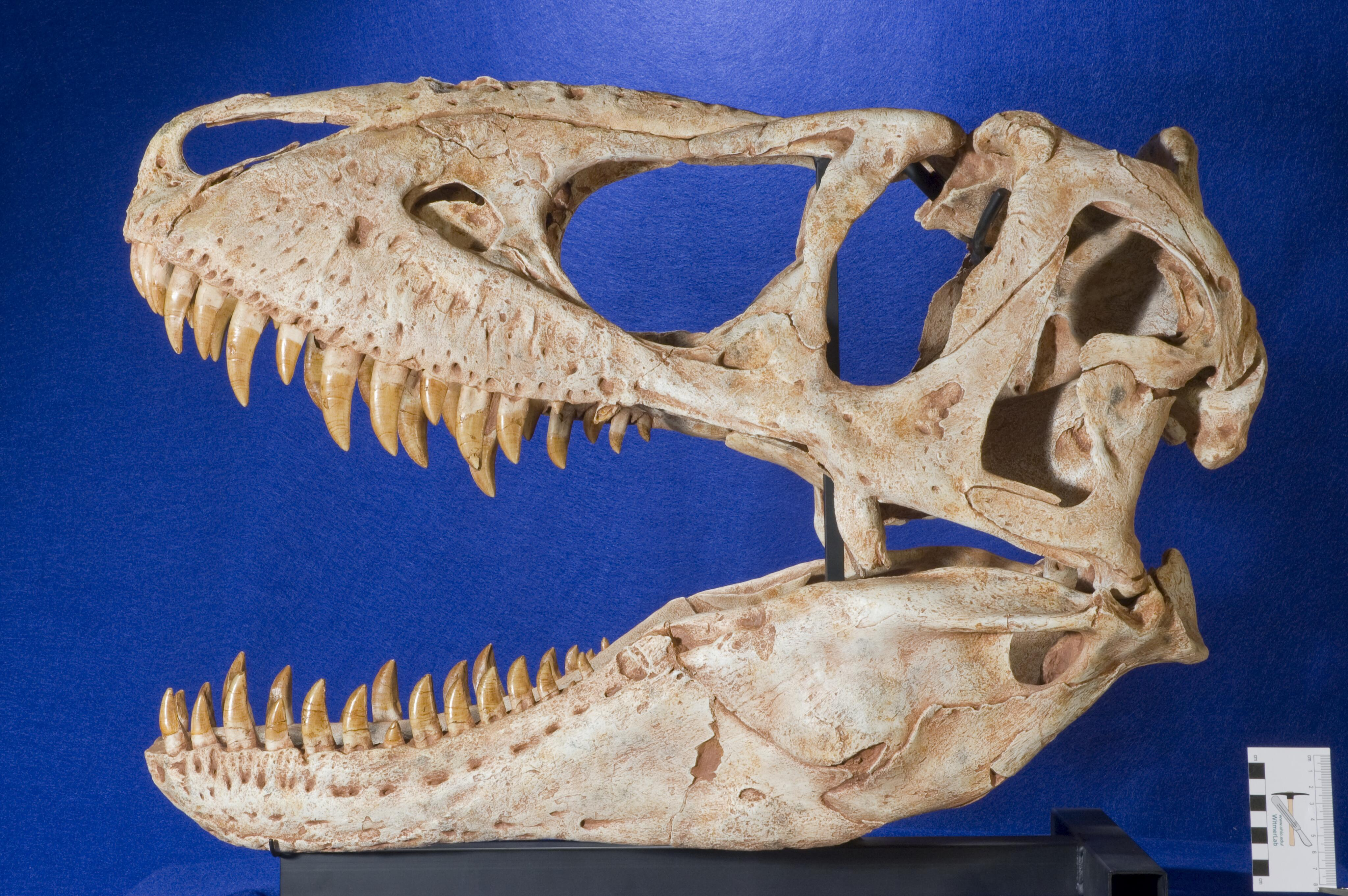 T. Rex* Tyrannosaurus Rex - Debora / Child Star