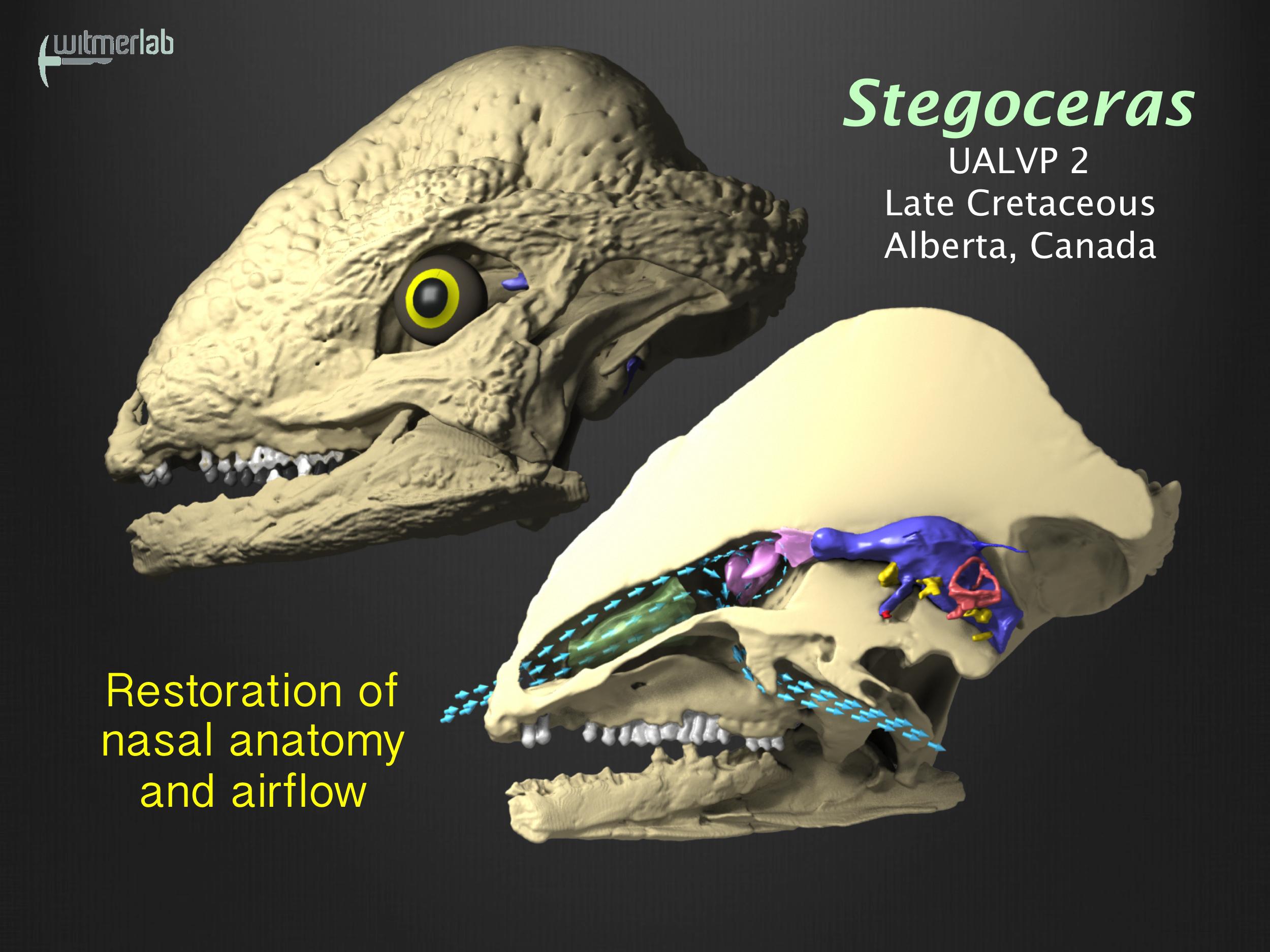Pachycephalosaur nasal airflow - main